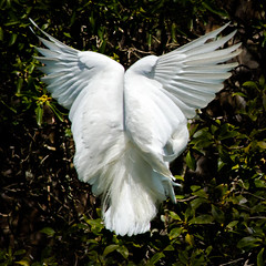 Angel Wings (ronniegoyette) Tags: places pismobeach snowyegret backview angelwings