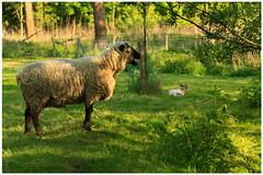 Springtime (5) (H. Bos) Tags: haven nature grass animal sheep natuur lamb gras lente sheeps dier lam springtime almere schapen schaap lammetje littlelamb waterlandsebos