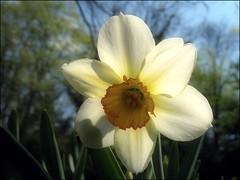 (Tölgyesi Kata) Tags: vácrátótibotanikuskert nemzetibotanikuskert botanikuskert botanicalgarden withcanonpowershota620 narcissus nárcisz daffodil narzissen blossom bluesky vácrátót fleur virág