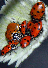 """Ladybugs • <a style=""""font-size:0.8em;"""" href=""""http://www.flickr.com/photos/95808399@N03/8983766229/"""" target=""""_blank"""">View on Flickr</a>"""