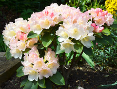 Rhododrendon Golden Torch 6-1 (Sussexshark) Tags: rhododendron ourgarden 2013 goldentorch forsky