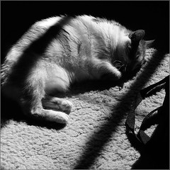 Taffy Likes Sunshine (joeldinda) Tags: bw sunshine cat chat kitty gato shade joeldinda c50