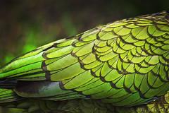 Kea (Jim Verweij Photography) Tags: new mountain bird nature n