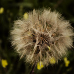 White Dandelion thumbnail