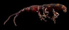 Arrhenodes minutus , U, Side, Upper Marlboro_2013-07-05-15.15.06 ZS PMax (Sam Droege) Tags: animal animals bug insect beetle insects bugs beetles arthropods animalia arthropoda weevil arthropod insecta weevils curculionoidea polyphaga arrhenodesminutus timberworm stackshot taxonomy:binomial=arrhenodes minutusbrentidaedroegebimlusgspwrczerene stackeroak usgsbiml