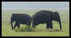 Side by Side...Always. (Honey Badgerr) Tags: wild elephant nature grass by asian photography jeep wildlife side lagoon safari honey always srilanka habarana shanaka kaudulla wilpattu aravinda badgerr