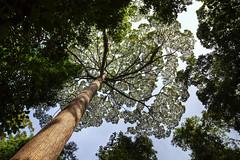 Green canopy (Pic_Joy) Tags: travel holiday asia southeastasia malaysia kotakinabalu leisure 旅游 sabah attraction 沙巴 亚洲 休闲 假期 eastmalaysia 马来西亚 景点 东南亚 东马 哥打京那峇魯 胜地 亚洲 东南亚 马来西亚 沙巴