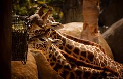 Mother and Son Dinner (Diana Philpot) Tags: nature fauna giraffe