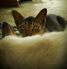 Si Pemalu (Shai) (PieceOfMindArt) Tags: pet animal cat nikon s3000