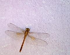 dragonfly (dotun55) Tags: wall insect dragonfly odonata