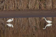 egrets-2118