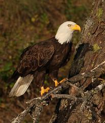 Watchful Waiting (ken.helal) Tags: eagles