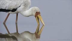 Yellow-billed Stork (Raymond J Barlow) Tags: africa red white bird yellow tanzania wildlife ngc stork raymondbarlowphototours