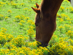 Stop to smell the flowers (libraryrivergirl) Tags: flowers horse yellow texas muzzle aster pinto sneezeweed heleniumautumnale
