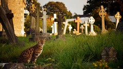 Holy Souls cemetery (I): the visitor (I) (pix-4-2-day) Tags: sun cemetery graveyard grass souls cat bristol evening warm catholic cross holy gravestone visitor pix42day