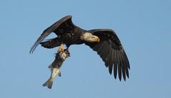 Bald eagle with striper - Conference House Park, Staten Island, NY (superpugger) Tags: statenislandbaldeagles baldeagles newyorkcitywildlife lawrencepugliares lpugliares haliaeetusleucocephalus