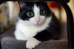 Found You (ElenaK@Chicago) Tags: blackandwhite pet feline surprise spike tuxedocat catexpressions nikon50mmf14 foundyou nikond800