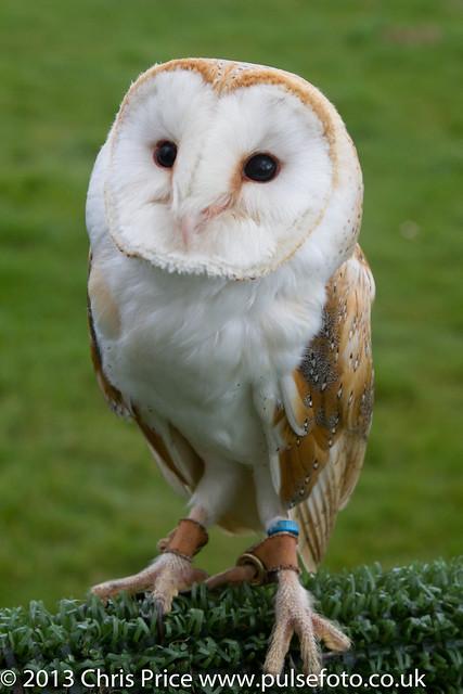 PF0301 Barn Owl.jpg