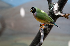 "Gouldian Finch - Chloebia gouldiae • <a style=""font-size:0.8em;"" href=""http://www.flickr.com/photos/30765416@N06/11393230693/"" target=""_blank"">View on Flickr</a>"