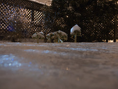 Kale vs. freezing rain (andyscamera) Tags: snow ontario canada ice kale peterborough freezingrain peterboroughcounty andyscamera