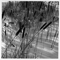 Quenouilles/Cattails (bob august) Tags: winter bw snow blackwhite noiretblanc hiver cattails squareformat neige iphone villeray quenouilles parcjarry montreal iphone4 decembre iphoneography iphoneographie formatcarre appaltphoto