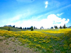 Yellow flowers (Lost in Flickrama) Tags: blue camping sky field yellow clouds trekking nationalpark hiking adventure backpacking yellowstone wyoming yellowflowers wildlandtrekkingcompany