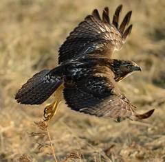Hunter [ Explore ] (snooker2009) Tags: winter red snow bird fall nature sunrise outdoors hawk wildlife small flight raptor getty migration redtail d800 thewonderfulworldofbirds dailynaturetnc10