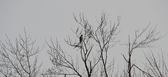 Red-Tailed Hawk Alone in a Tree, too Far to Really See! (praja38) Tags: life wood trees winter wild snow canada cold tree bird ice landscape landscapes wings woods alone hawk wildlife wing canadian southern raptor whitby perch lone wilderness distance wingspan birdofprey redtailedhawk capricorn talons perching lyndeshores lyndeshoresconservationarea