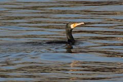 """Swimming """"Sinensis"""". (stonefaction) Tags: city nature birds scotland dundee wildlife quay cormorant faved sinensis"""