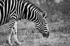 Kruger here we come (crafty1tutu (Ann)) Tags: bw holiday animal southafrica stripes august capetown zebra krugernationalpark 2014 inthewild pilanesberggamepark ilovemypics naturethroughthelens qualitypixels allthings~earthy~ amitieamizadeamistadfriend vision:outdoor=0865