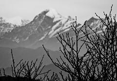 Himalaya, Sandakphu, Darjeeling, West bengal, India (Sougata2013) Tags: trees bw india mountain nature landscape nikon hill himalaya bengal darjeeling hilltop bangla westbengal sandakphu kanchenjunga himalayanrange pandim sonarbangla kanchenjungarange mountpandim