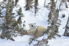 DS4_0427_080 (mirekb50) Tags: polarbear wapusknationalpark