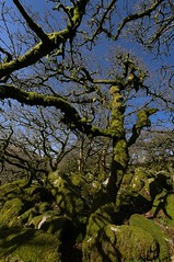 Wistman's Wood (1) (Gary Baldy) Tags: trees green moss oak rocks pentax branches devon lichen dartmoor twisted wistmanswood k20d sigma816mm