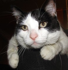 """Ozzy"" (EcoSnake) Tags: friends cats pets watching ozzy adoptions"