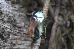 Costa Rica (joeksuey) Tags: birds costarica beetle reserve santaelena monteverde cloudforest biological reservabiologicabosquenubosomonteverde