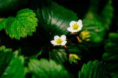 Strawberry flower (anthonyleungkc) Tags: flower lumix hongkong strawberry olympus panasonic asph f28 omd yuenlong strawberrypicking vario m43 mft kamtin em5 kamtincountryclub lihgtroom 1235mm microfourthirds x1235 hannahschoolpicnic