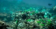 Underwater in Maui (Four Straites) Tags: hawaii underwater maui snorkle