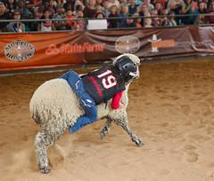 Ride 'em Cowgirl (wyojones) Tags: usa wool girl hair texas ride sheep houston running riding lamb rodeo cowgirl bluejeans grip cowboyboots houstonlivestockshowandrodeo holdingon muttonbusting protectivegear wyojones helmelt