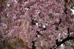 (eyawlk60) Tags: pink flowers beautiful japan canon eos spring    sakura 5d cherryblossoms nippon  haru      shidare    flickraward ujoshidare