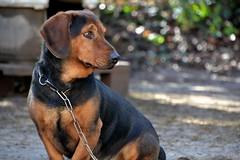 DSC_1461 (auroresb091) Tags: dog chien love friend sweet amour fidèle meilleuramidelhomme