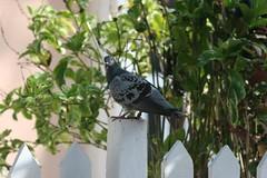Bird on a fence (Simone Scott) Tags: fence islands pigeon cayman brac caymanbrac messengerpigeon simonescott