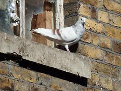 Pigeon (I Am Flakes) Tags: brick bird mill home broken window animal nest pigeon wildlife bricks ledge disused derelict buckland dover brickwork papermill