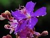 flores (douglasrgr1) Tags: flowers brazil flores paraná brasil nikon londrina lilas colorido p530