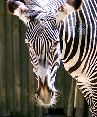 // (Chrismatos 90% OFF, sorry) Tags: park white black nature garden zoo zebra
