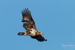 Juvenile Bald Eagle flyby