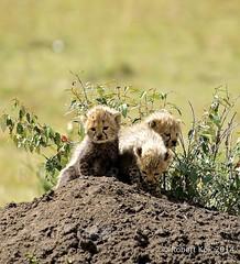 Exploring their world! (Jambo53 (catching up)) Tags: nature kenya wildlife safari afrika cheetah cubs masaimara eastafrica sigma50500 acinonyxjubatus jachtluipaard nikond800 jambo53