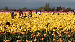 Tulip Fest (5 of 26) (evan.chakroff) Tags: flowers festival washington spring unitedstates tulips tulip april mountvernon tulipfestival mtvernon roozengaarde 2016