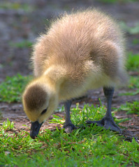 The Gosling (swong95765) Tags: baby bird grass animal feeding young goose chick gosling canadagoose gaggle