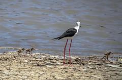 cigeuela con sus pollitos (ibzsierra) Tags: parque bird canon natural salinas ibiza ave 7d pajaro pollo eivissa oiseau baleares cigueuela 100400isusm