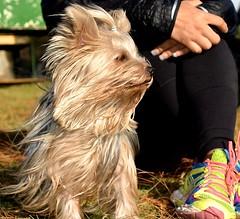 paco (@NEDALOES) Tags: dog yorkshire yorki littlebaby
